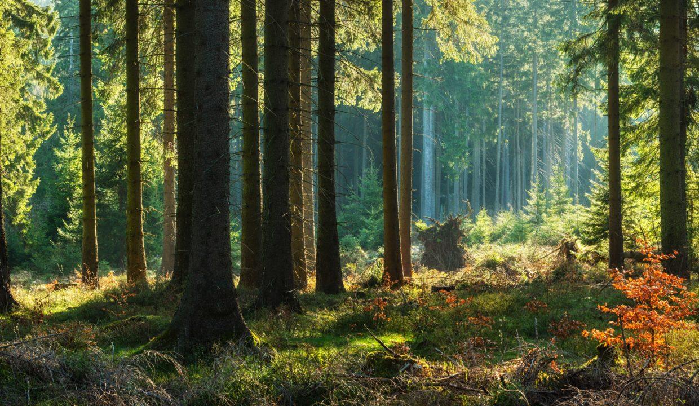 Forêt à vendre Conifères
