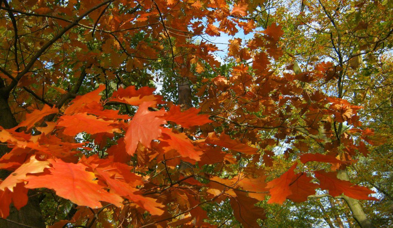 Forêt à vendre Chêne rouge d'Amérique