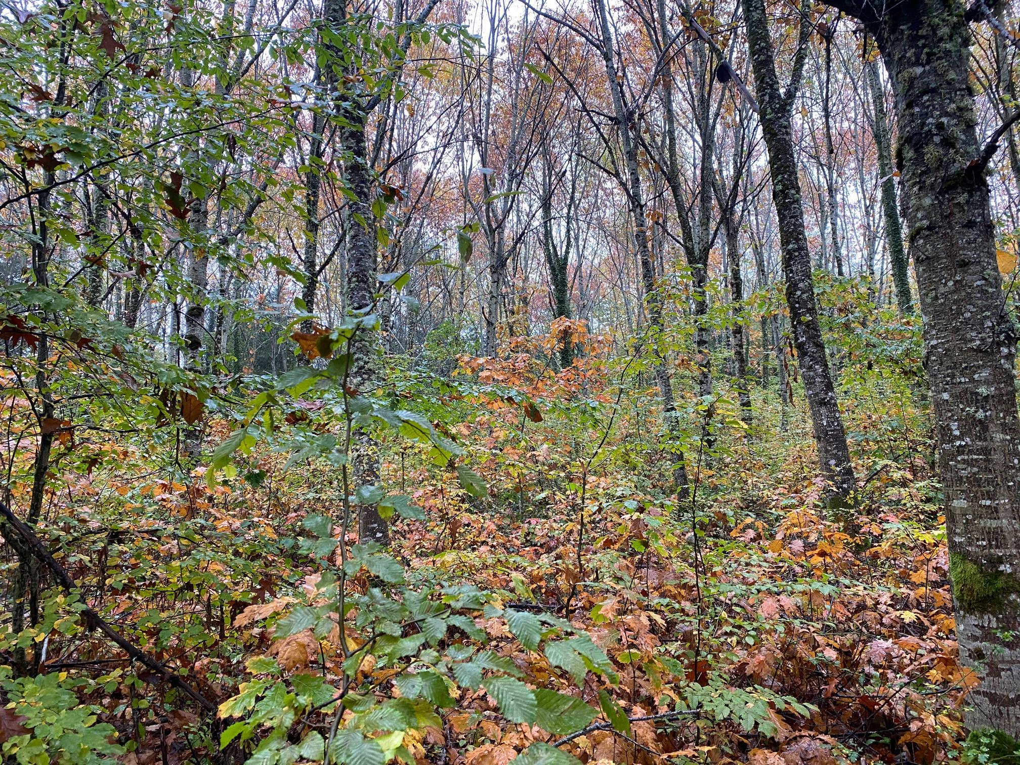Forêt de chênes rouge d'Amérique à vendre en Corrèze
