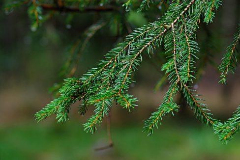 Forêt à vendre Epicéas