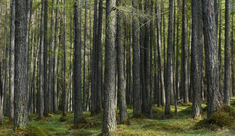 Forêt à vendre Mélèzes
