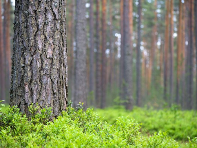 Forêt de pins sylvestres en vente