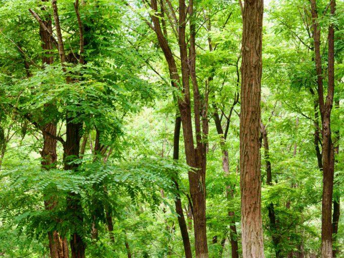Forêt Acacias à vendre Roumanie
