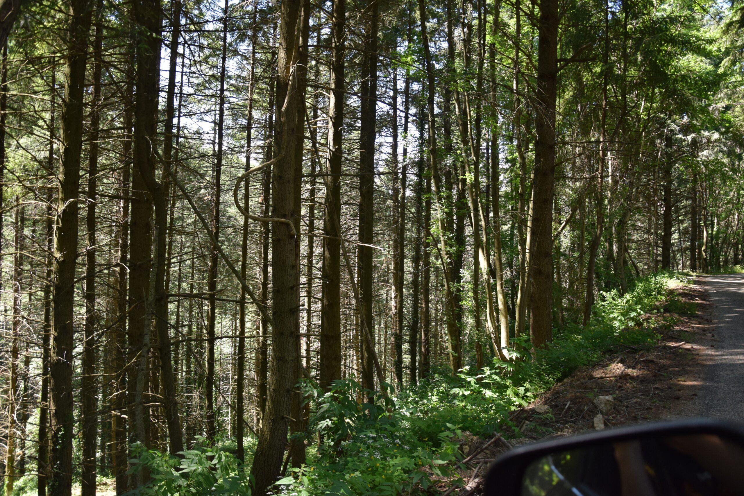 Forêt de douglas en Ardèche Réf 05