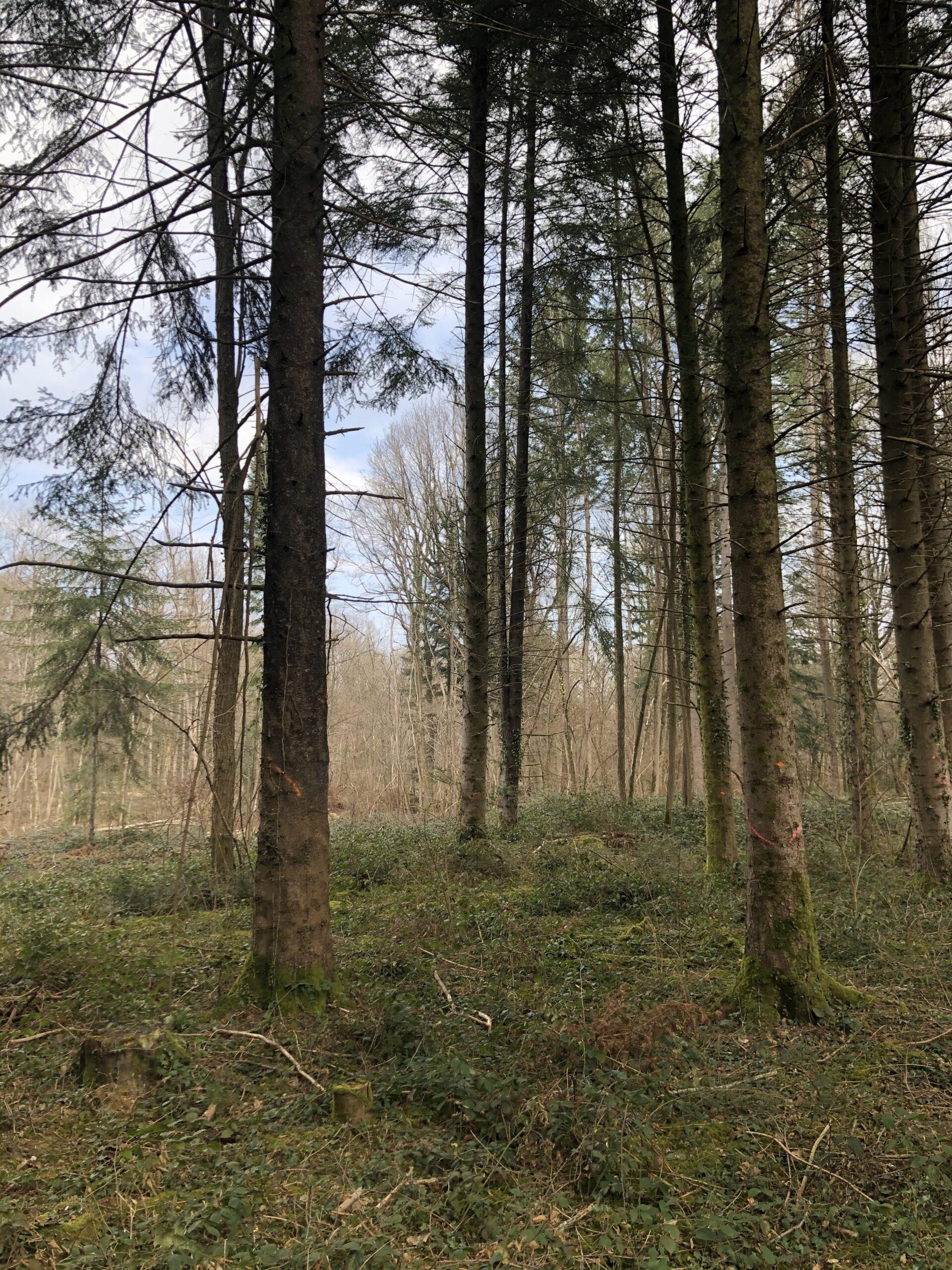 Forêt de Chêne Réf 06