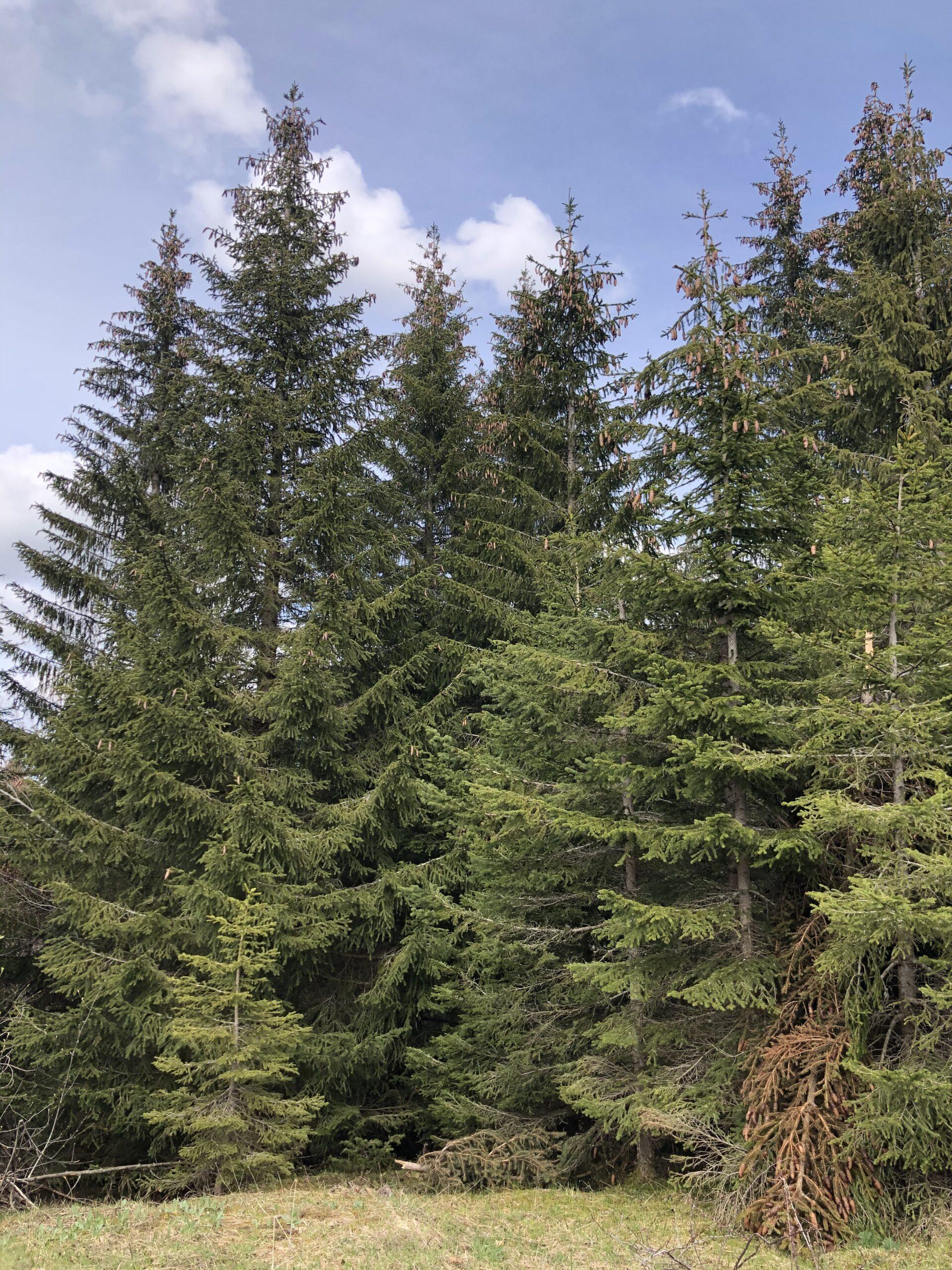 Forêt dans le Haut Jura Réf: 10